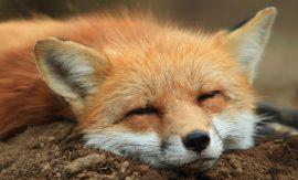 Zao Fox Village – светилището в Япония, в което лисиците скитат свободно