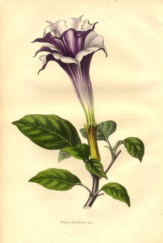 https://chitatel.net/pic/bio/botanica/Solanaceae/Solanaceae%20-%20Datura%20fastuosa.jpg