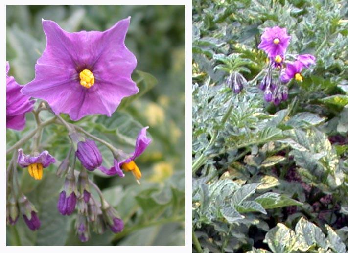 https://www.chitatel.net/pic/bio/botanica/Solanaceae/Solanaceae.jpg
