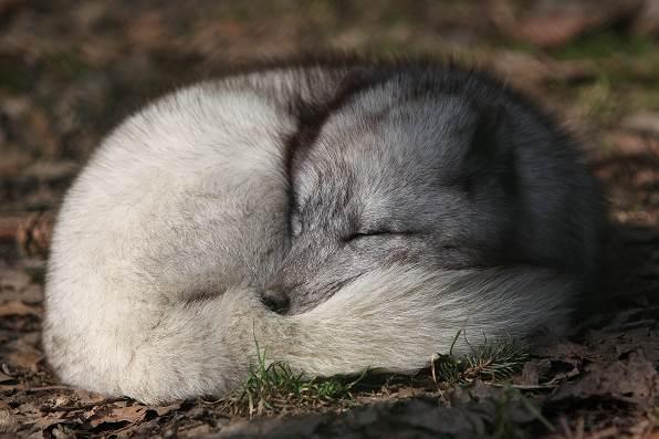 Аrctic fox 1