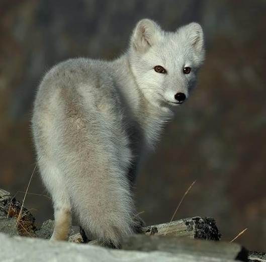 Аrctic fox 2