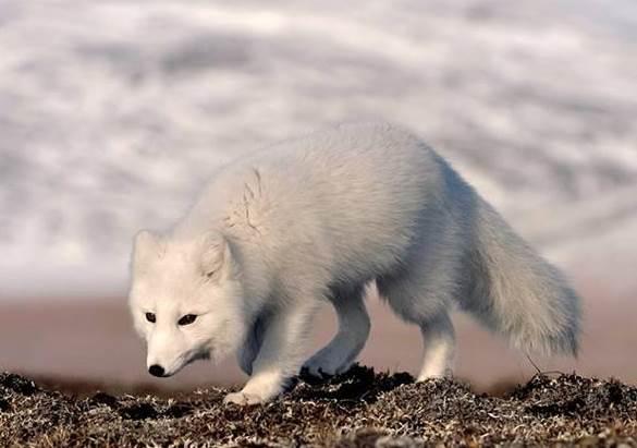 Аrctic fox 3