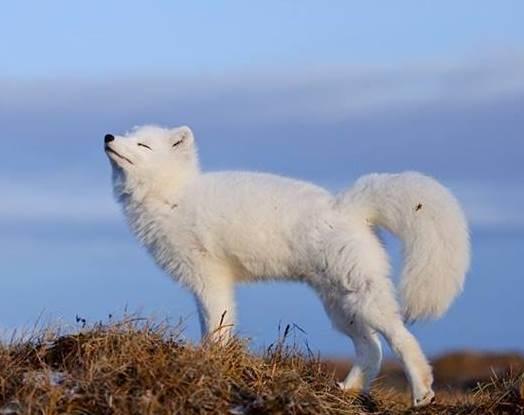 Аrctic fox