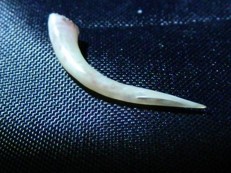 отровен зъб