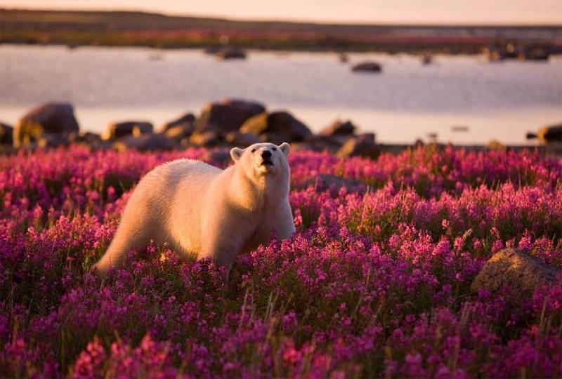 10-Белый медведь и цветущее поле на Гудзонского залива