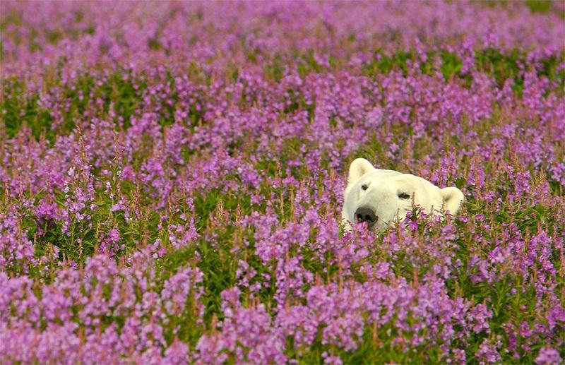 11-Белый медведь в цветах