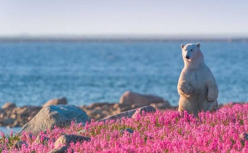 12-Полярный медведь в цветущем поле
