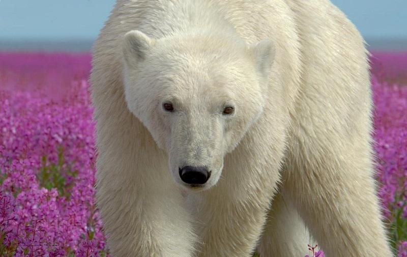 14-Могущественный белый медведь в поле цветов