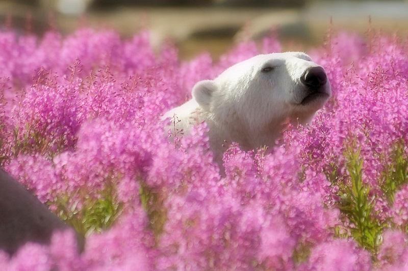 15-Белый медведь резвится в поле цветов, Канада