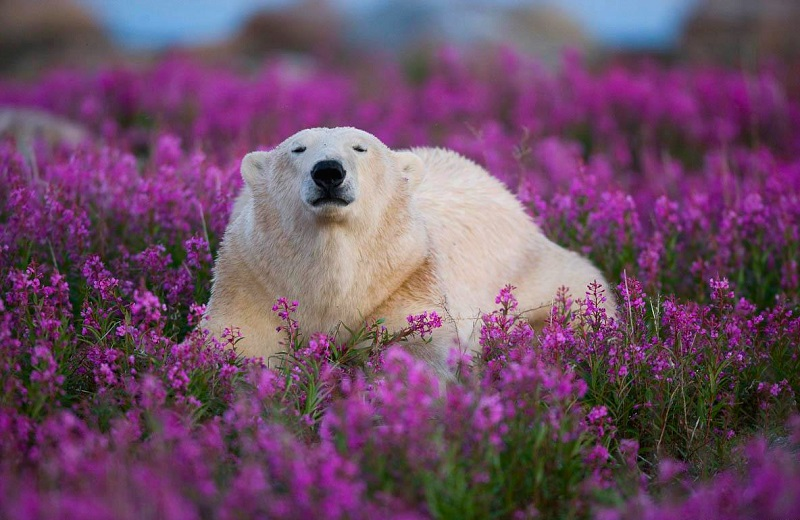 2-Белый медведь в цветах