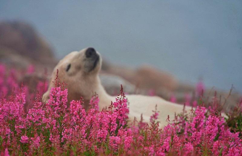 3-Белый медведь в цветущем поле