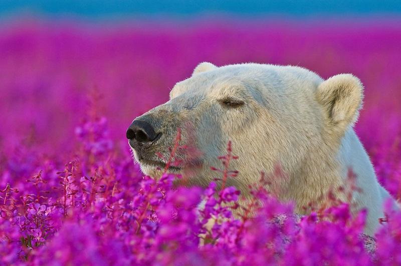 6-Белый медведь наслаждается цветами