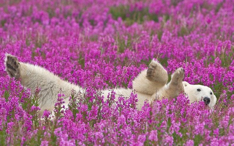 7-Белый медведь лежит в поле цветущего кипрея, Северная Канада