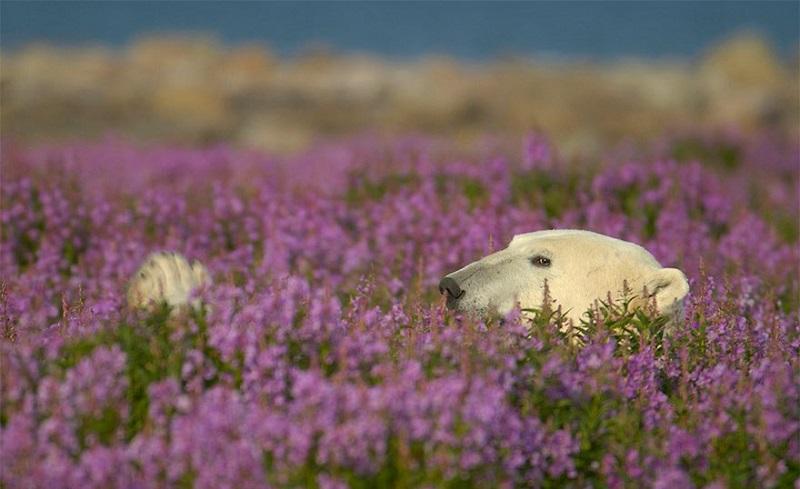 9-Медведь отдыхает среди цветущего кипрея