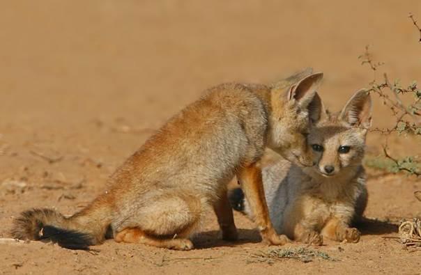Bengal fox 2