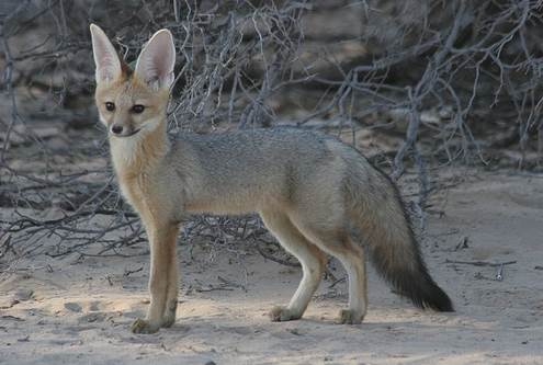 Blanford's fox 2