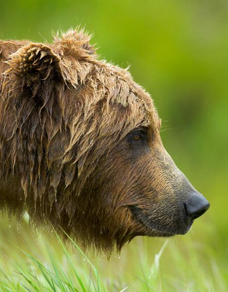 Brown_bear_1
