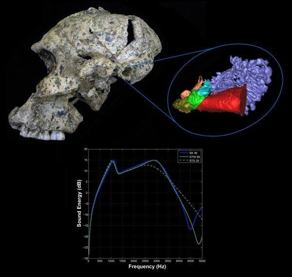 Fossil skull hearing