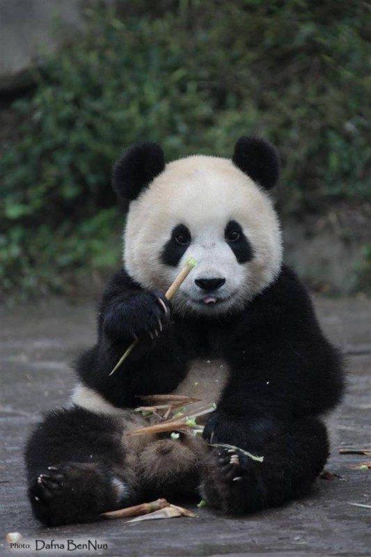 Giantpanda_1