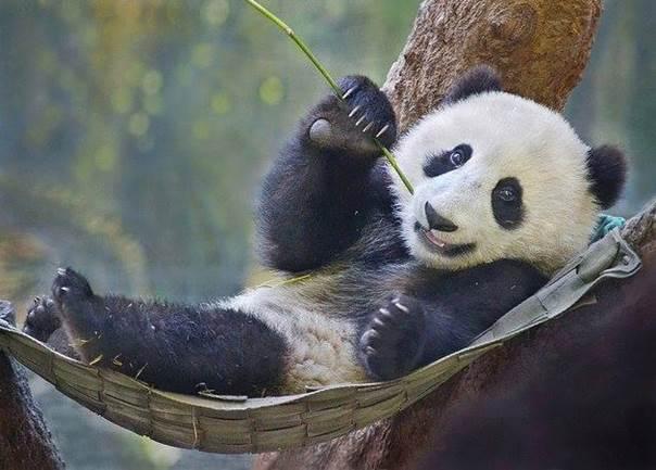 Giantpanda_2