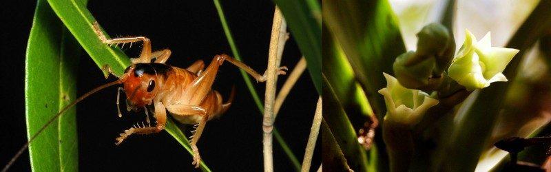 glomeremus-orchidophilus