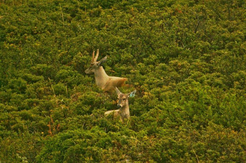 Hippocamelus_bisulcus,_Parque_Nacional_Torres_del_Paine,_Chile
