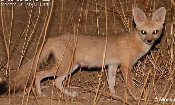 Pale fox 2