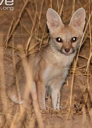 Pale fox