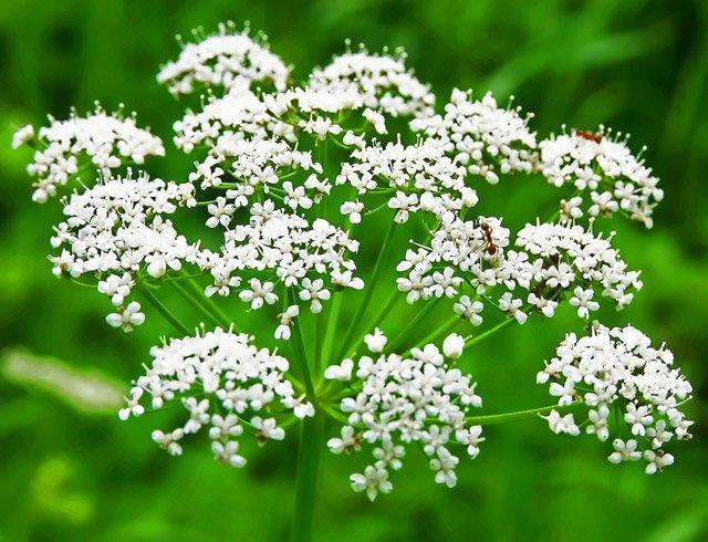 Pimpinella anisum L