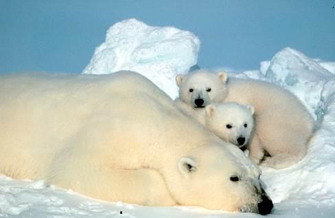 PolarbearUrsusmaritimus_2