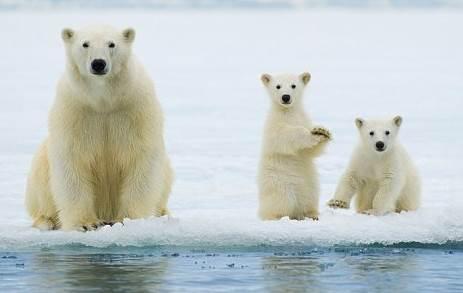 PolarbearUrsusmaritimus_3