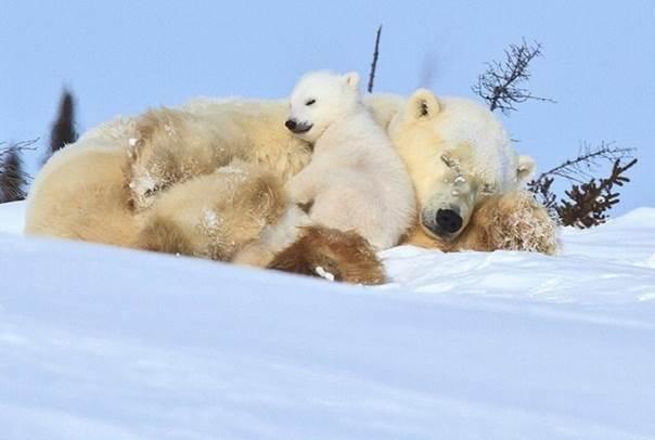 PolarbearUrsusmaritimus_4