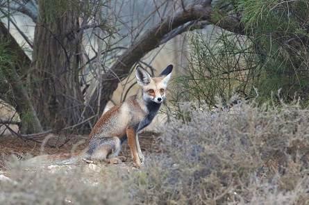 Rüppell's fox 3