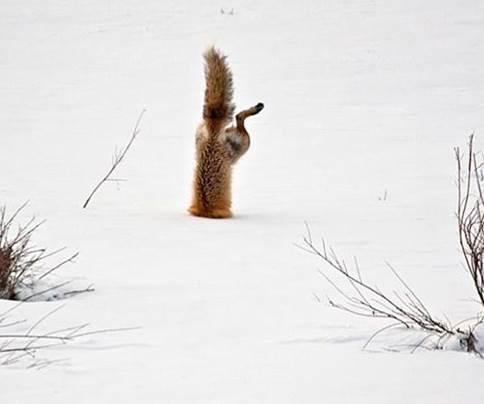 Red fox 5
