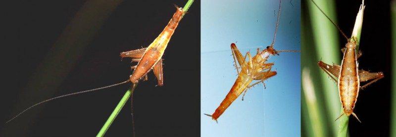 saltoblattella-montistabularis