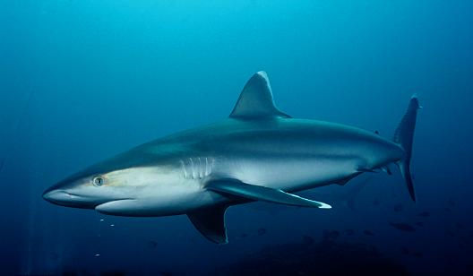 Silvertip Sharks3
