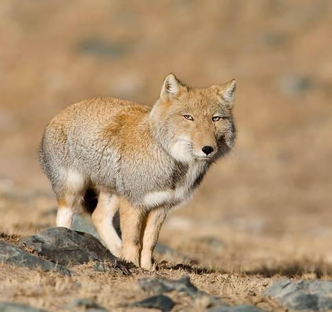 Tibetan sand fox 2
