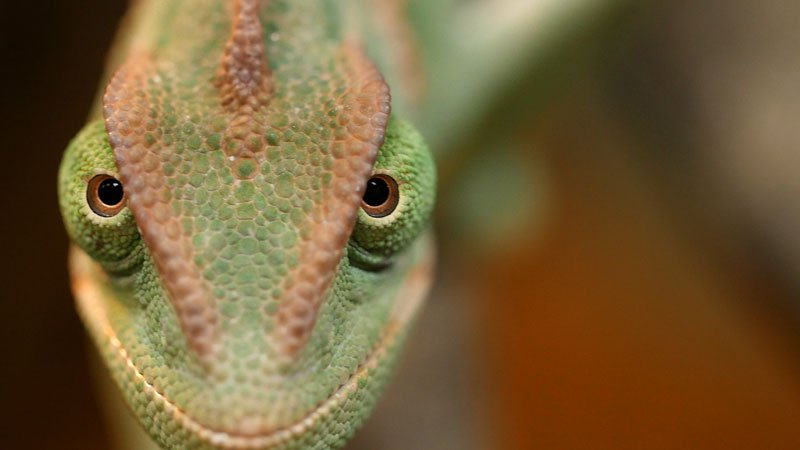 chameleons-change-color-to-stand-out-not-blend-in_kqed-pbs-4