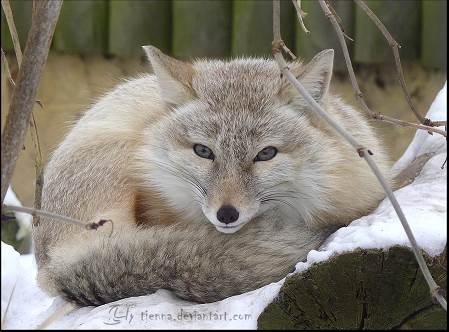 corsac fox 2