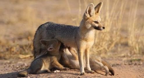 corsac fox 3