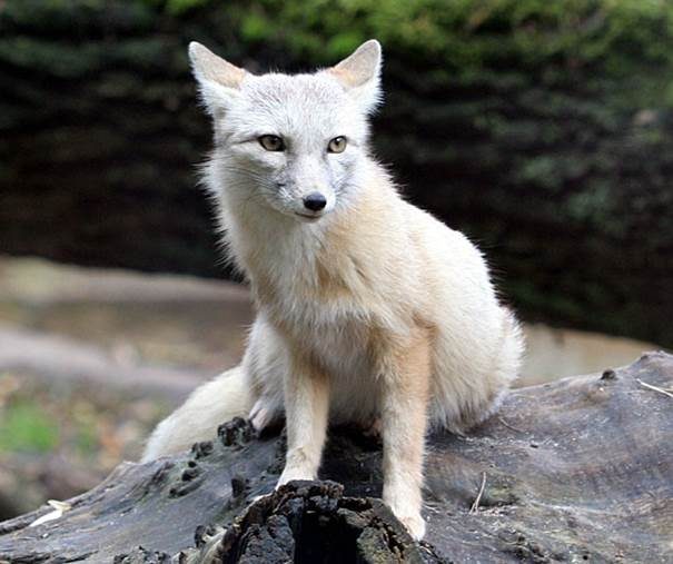 corsac fox 4