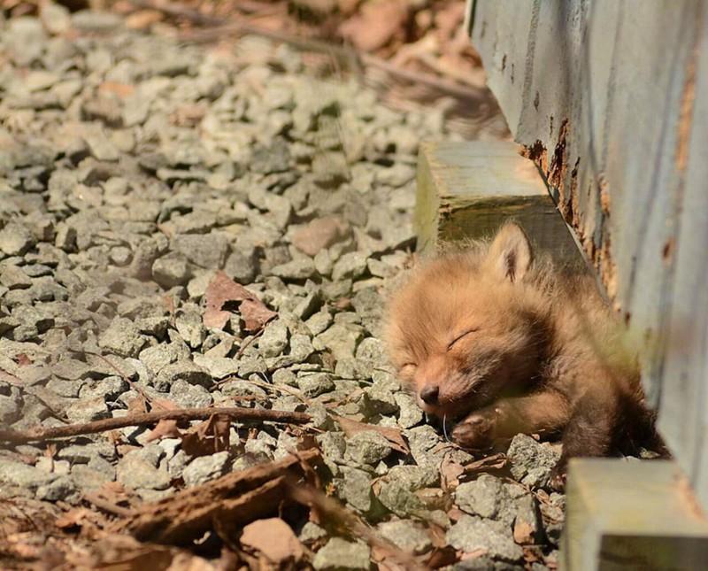 cute-baby-foxes-25-574454d4f3e24__880