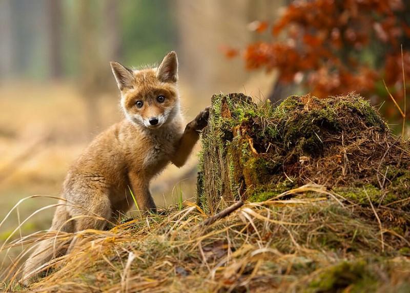 cute-baby-foxes-6-5744369a5c5e4__880