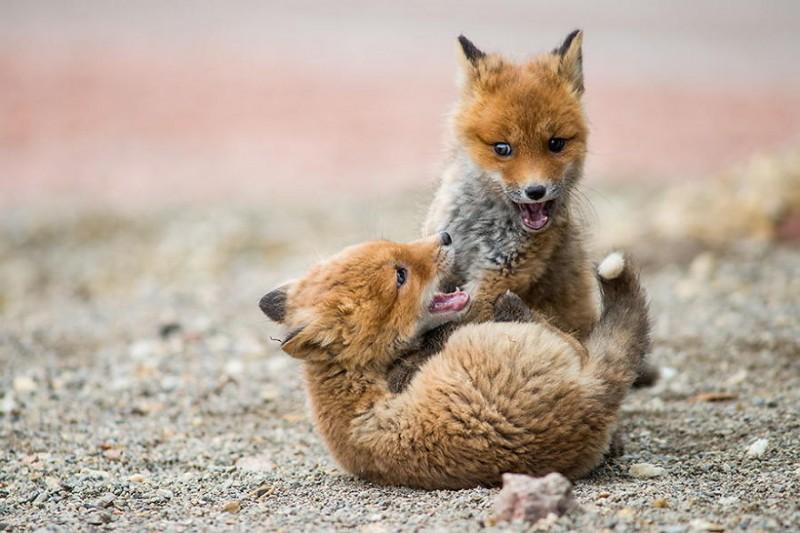 cute-baby-foxes-9-574436a260e9f__880