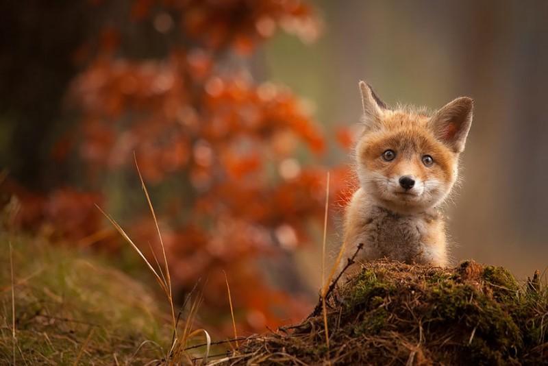 cute-baby-foxes-cubs-11-574436ae5e411__880