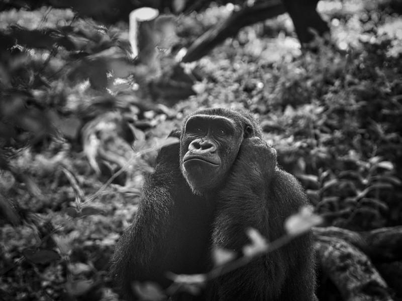 dallas-gorilla-safari_93476_990x742