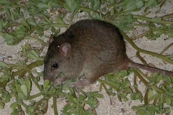 extinct_rodents_smirnov_1_600