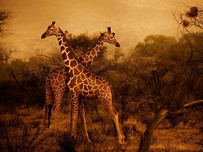 giraffes-herd-kenya_48273_990x742