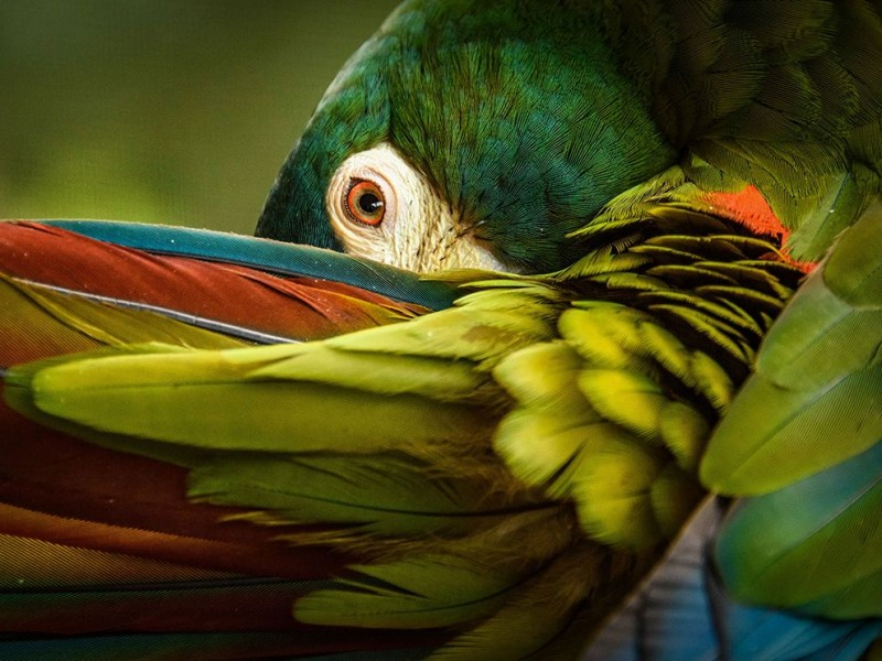 illiger-macaw-ngpc2015_92847_990x742