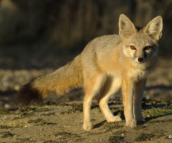 kit fox 3